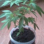Частное выращивание конопли