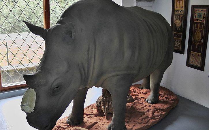 Из чешских музеев исчезают части носорогов