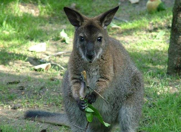В Чешском лесу живёт кенгуру