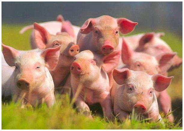 В Кирове будут жить чешские свинки