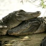 Стейк крокодилий, чешский