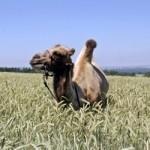 Пожарным удалось спасти испуганного верблюда