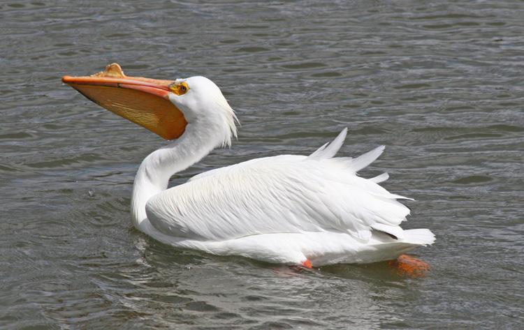 3 белых пеликана отправятся в Англию
