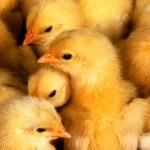 2200 цыплят из 6600 умерло при пожаре