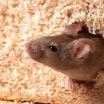 Хлеб с мышью внутри был обнаружен в Плзеньском крае