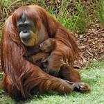 В пражском зоопарке появился маленький орангутанг