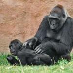 Горилла Камба родила мёртвого детёныша