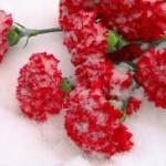 Россельхознадзор обнаружил партию зараженных цветов