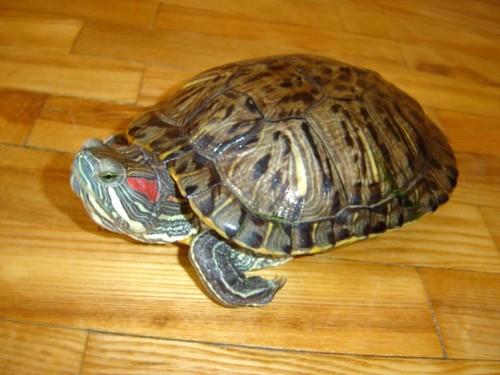 Как спят красноухие черепахи в домашних условиях - Visit-petersburg.com