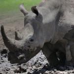 Рога носорогов продавались на азиатском рынке