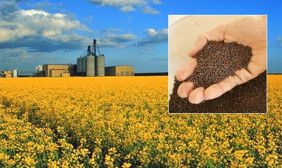 Урожай зерновых в этом году вырос на 20%