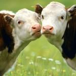 По всей видимости, животные сбежали с какой-либо из ферм, находящихся неподалеку
