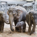 В пражском зоопарке умерла молодая слониха