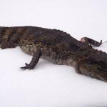 Мёртвого крокодила выбросили на помойку