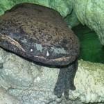 Пражский зоопарк откроет новый павильон для китайских саламандр