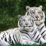 В Либерецком зоопарке появился детёныш белого тигра