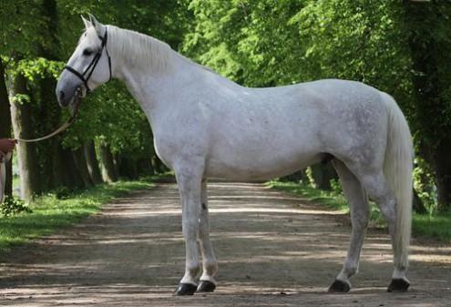 Кладрубы – лошади для императоров