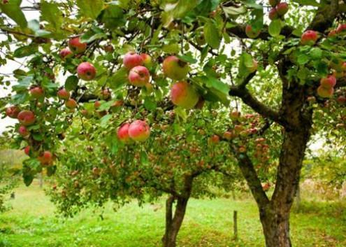 Бесплатный сбор фруктов в Чехии