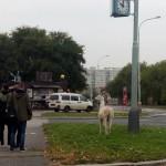 Лама в Праге