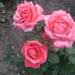 Розы Бёма