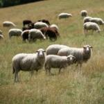Чешские овечки из Шумавы