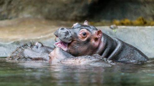 В субботу в пражском зоопарке выберут имя для бегемотика