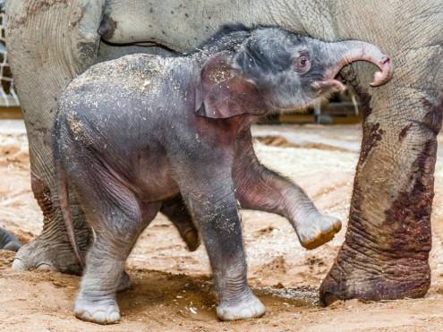 В Пражском зоопарке можно увидеть новорожденного слоненка