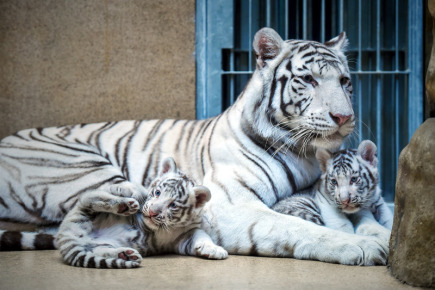 В субботу в либерецком зоопарке белым тигрятам дадут имена