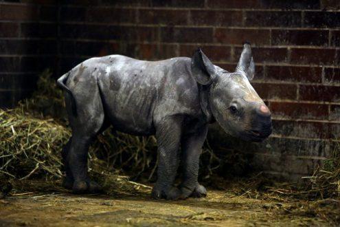 В чешском зоопарке родился редкий двурогий носорог