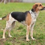 Богемская пятнистая – собака, лишённая агрессии
