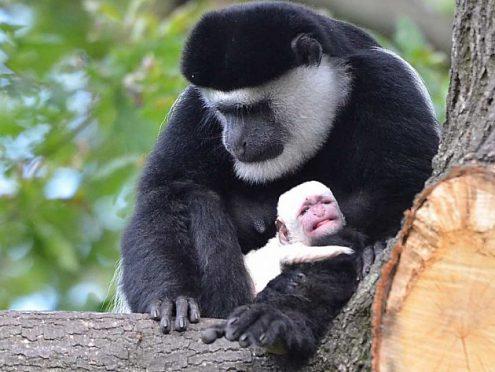 В Пражском зоопарке родился детёныш гверецы
