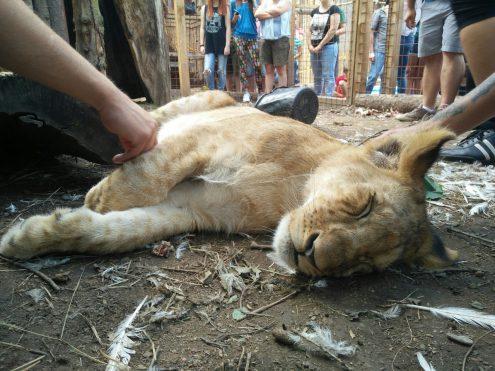 В обнимку с ягуаром