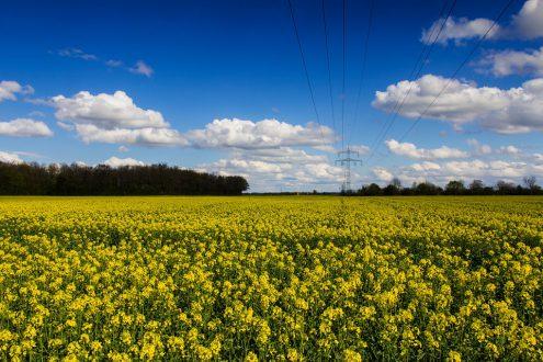 Жёлтое золото чешских полей