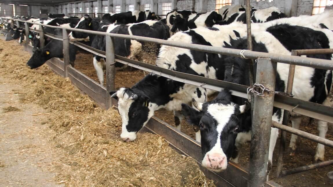 Управление современной молочной фермой - Пражский Телеграф