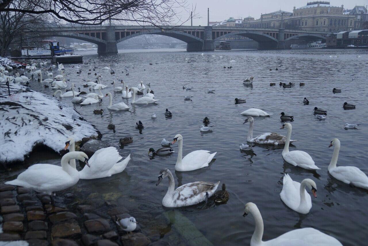 Во время запуска фейерверков пострадали лебеди - Пражский Телеграф