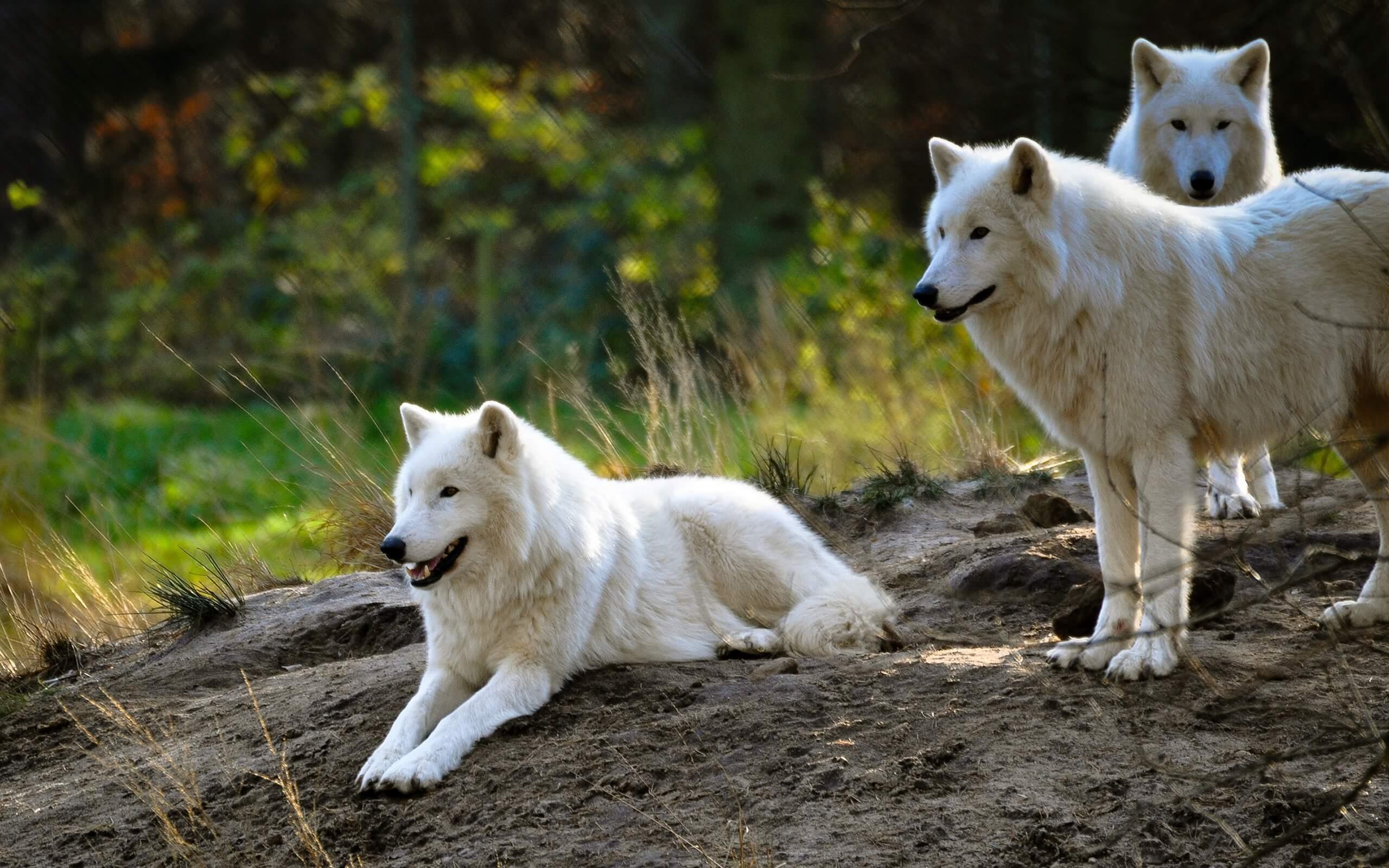 Трёх полярных волков привезли в Новосибирский зоопарк из Чехии - Пражский Телеграф